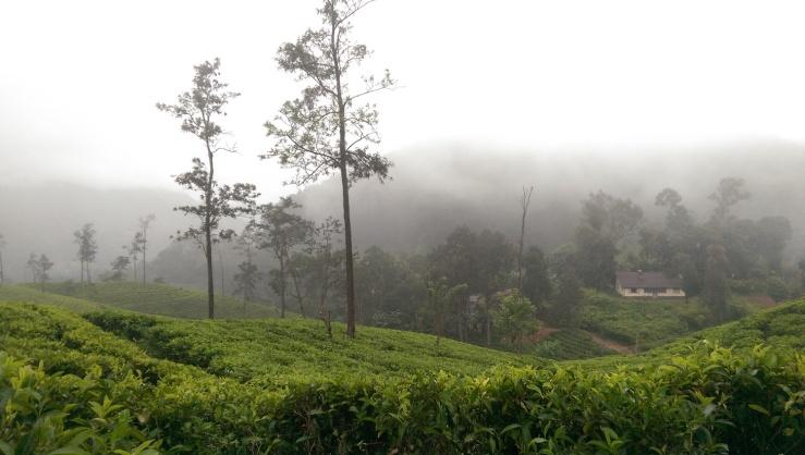 Tea Grove Mist