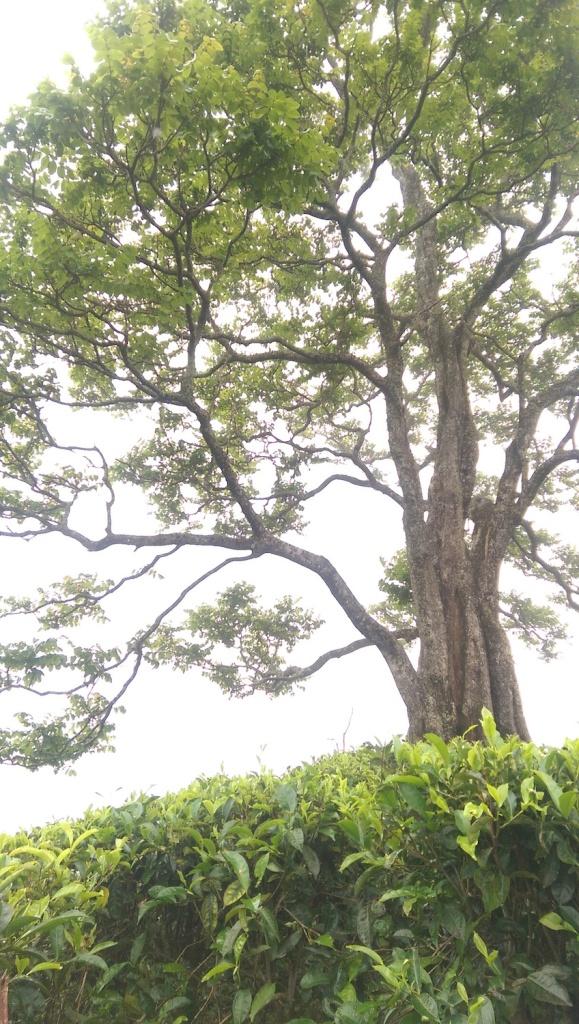 Tea Grove Tree
