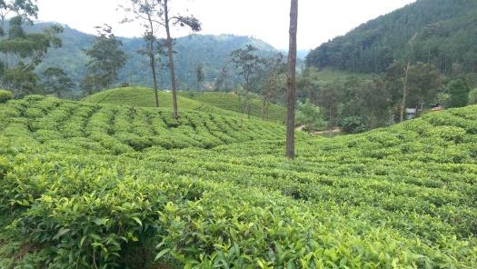 Tea Grove
